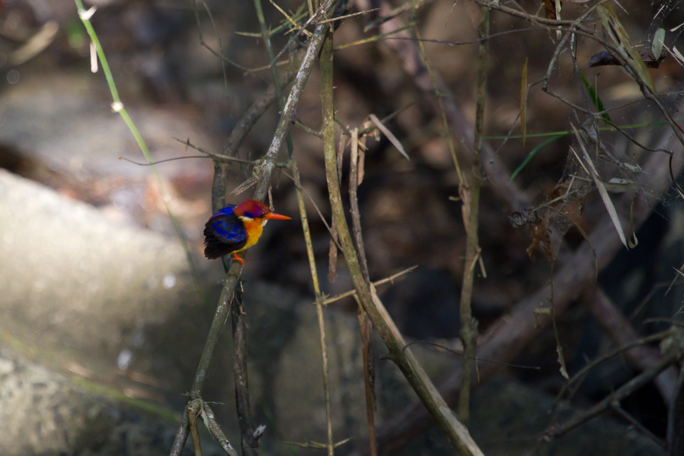 Black-Backed Kingfisher, Cat Tien National Park, Vietnam, Jan, 2014