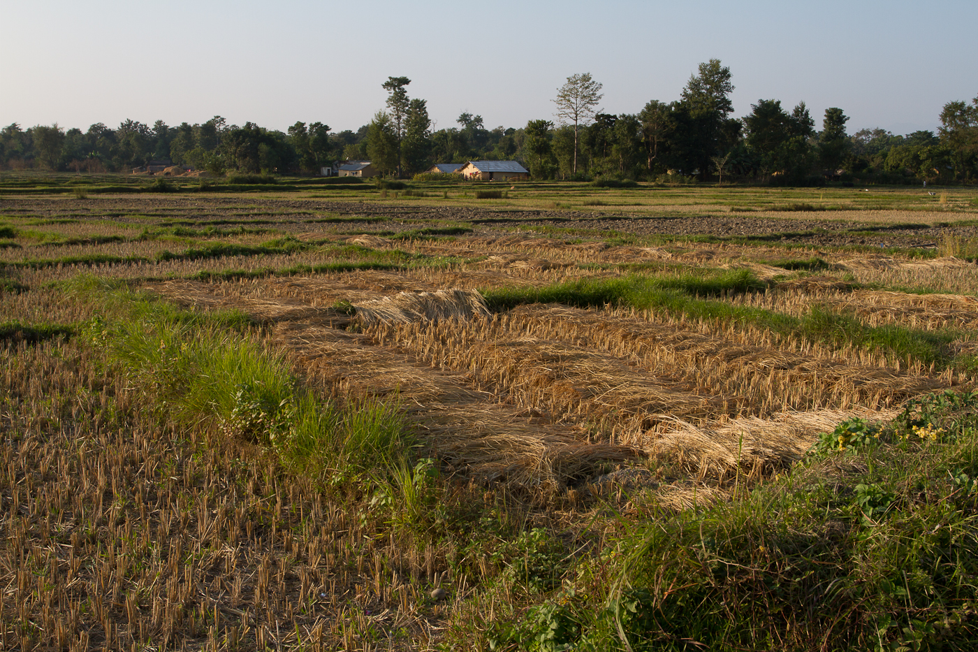 Rice stalks drying on farmland outside of Bardia