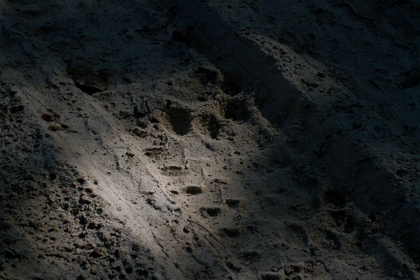 Tiger tracks in Bardia National Park