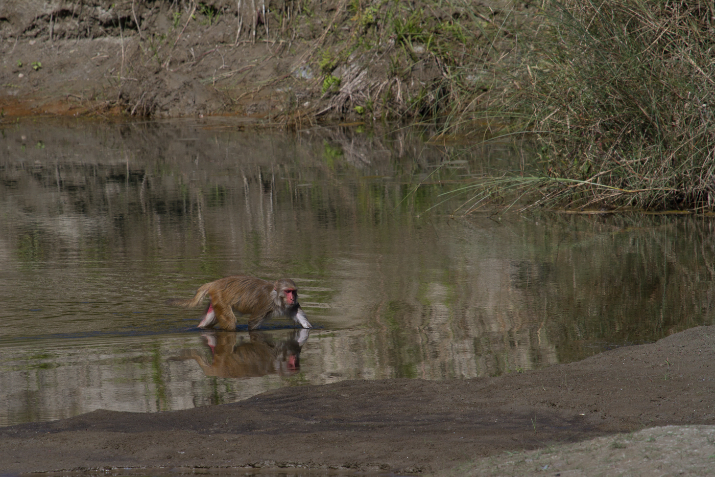 Rhesus Macaque crossing the river in Bardia National Park