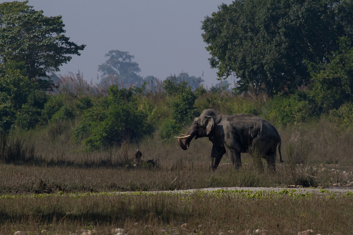 Asian elephant in Bardia National Park