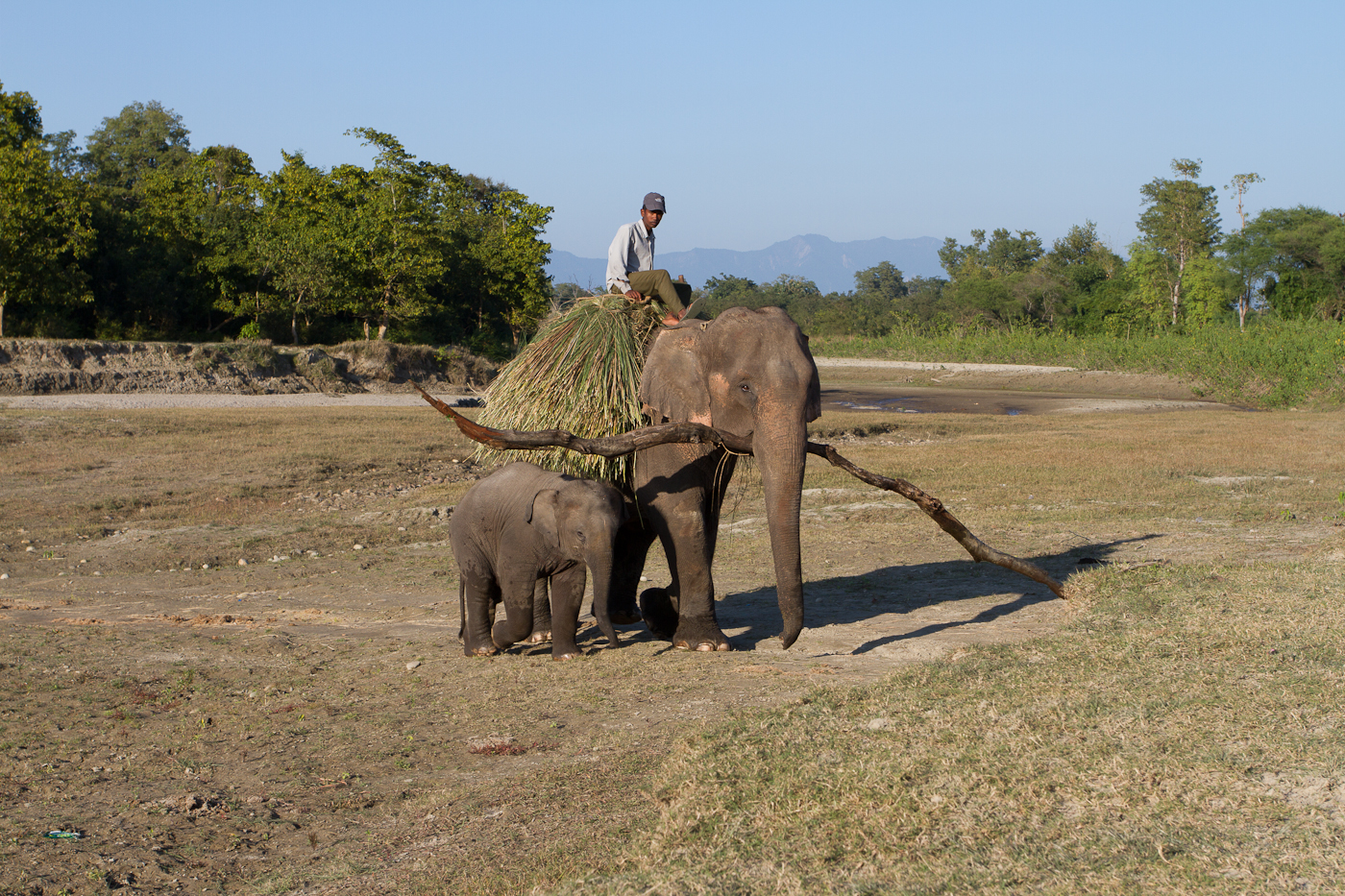 These working elephants help to clear the paths in Bardia. In the evening they carry their dinner home to the stables.