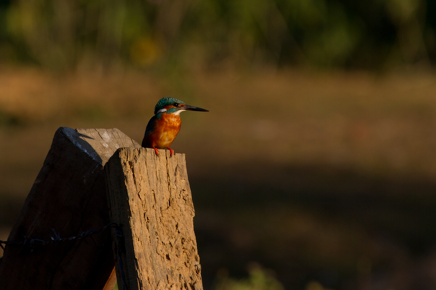 Common Kingfisher, Bardia National Park, Nepal, Nov. 2013