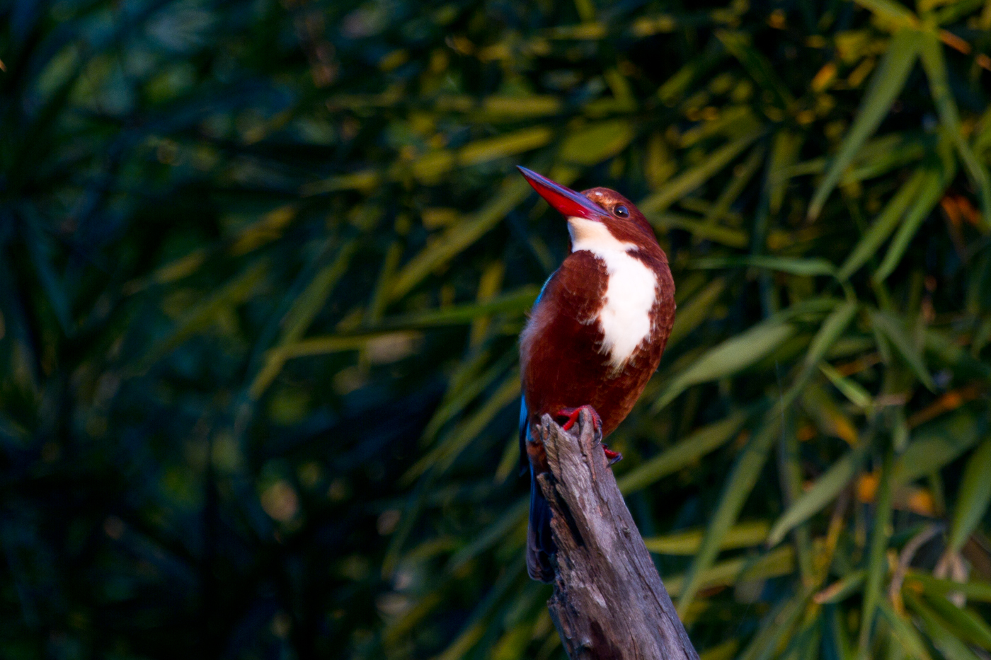 White-Throated Kingfisher, Bardia National Park, Nepal, Nov. 2013