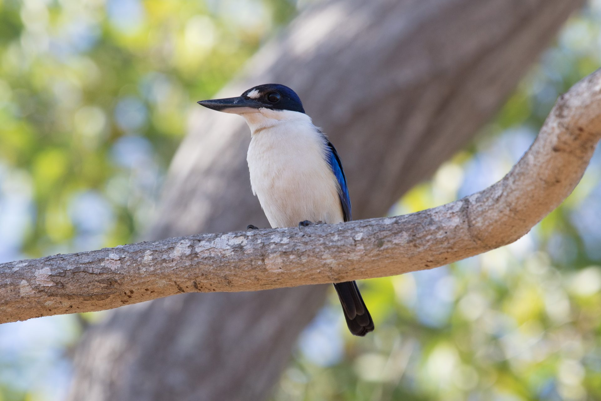 Forest Kingfisher, Darwin, Northern Territory Australia, Apr. 2016