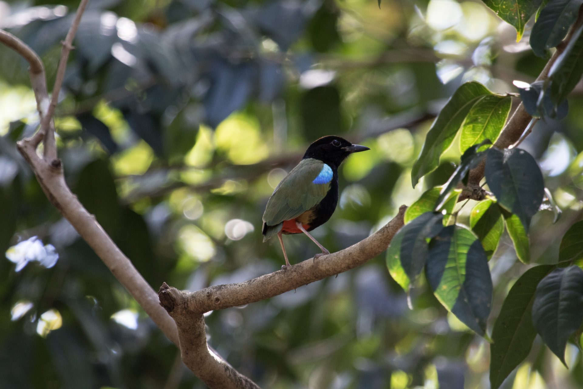 Rainbow Pitta, Darwin, Northern Territory, Australia, July 2016