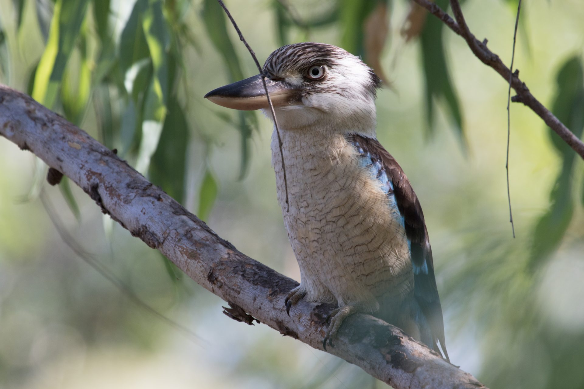 Blue-Winged Kookaburra, Kakadu National Park, Northern Territory Australia, Apr. 2016