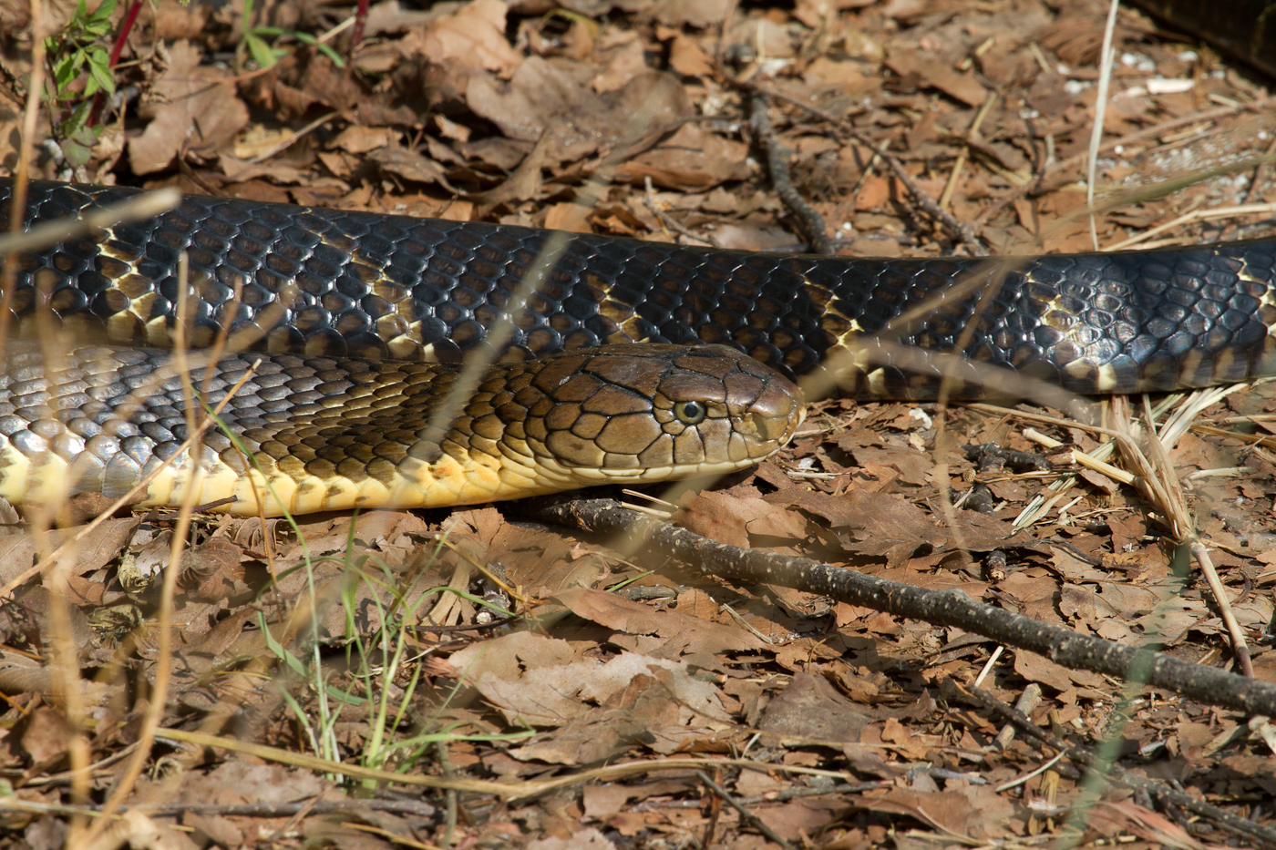Our bird guide almost walked right into this King Cobra