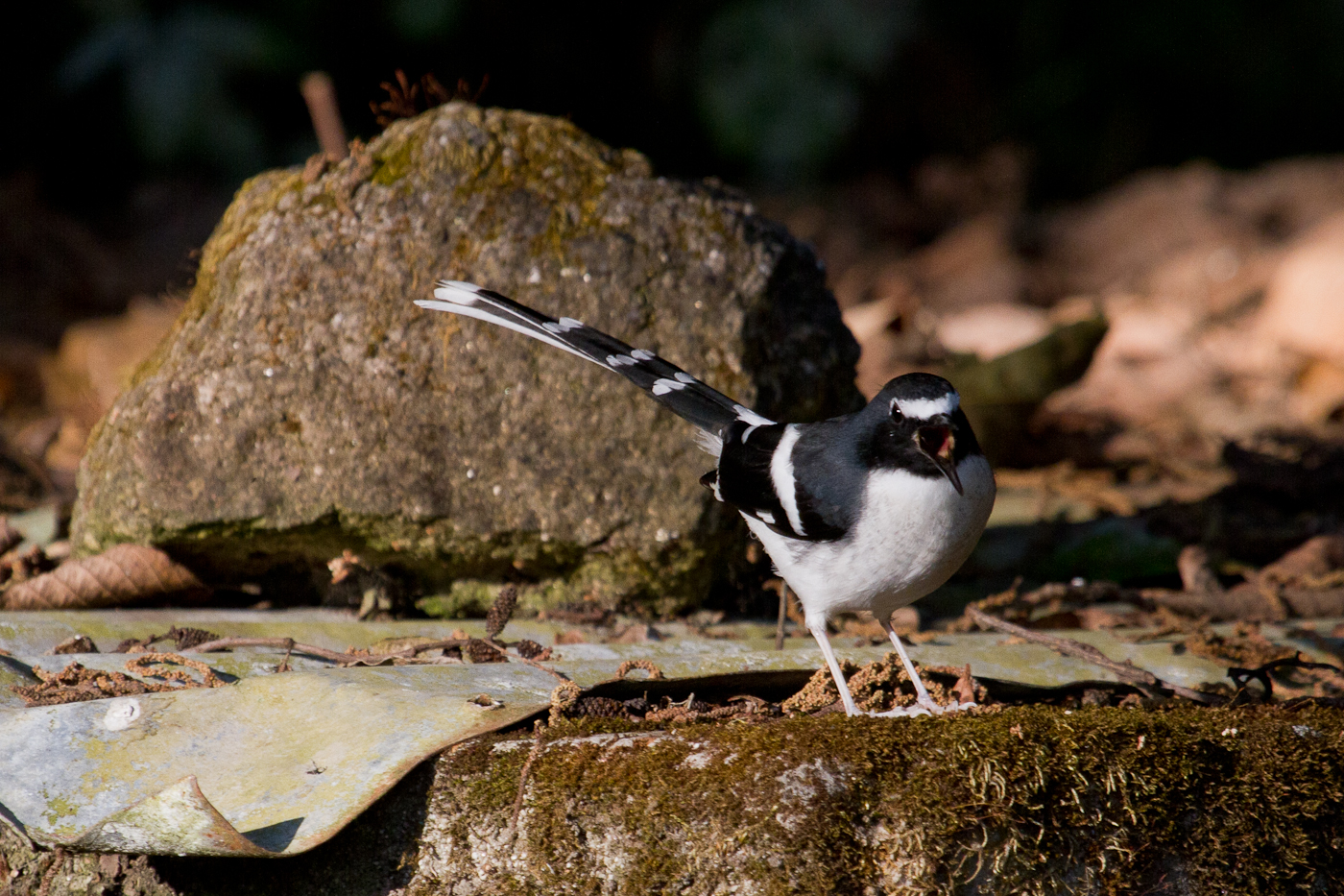 Slaty-Backed Forktail, Shivapuri National Park, Nepal