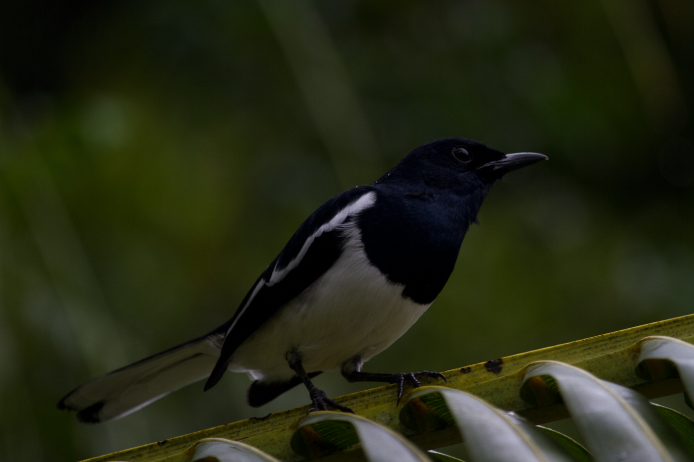 Oriental Magpie Robin, Forest Research Institute Malaysia (FRIM)