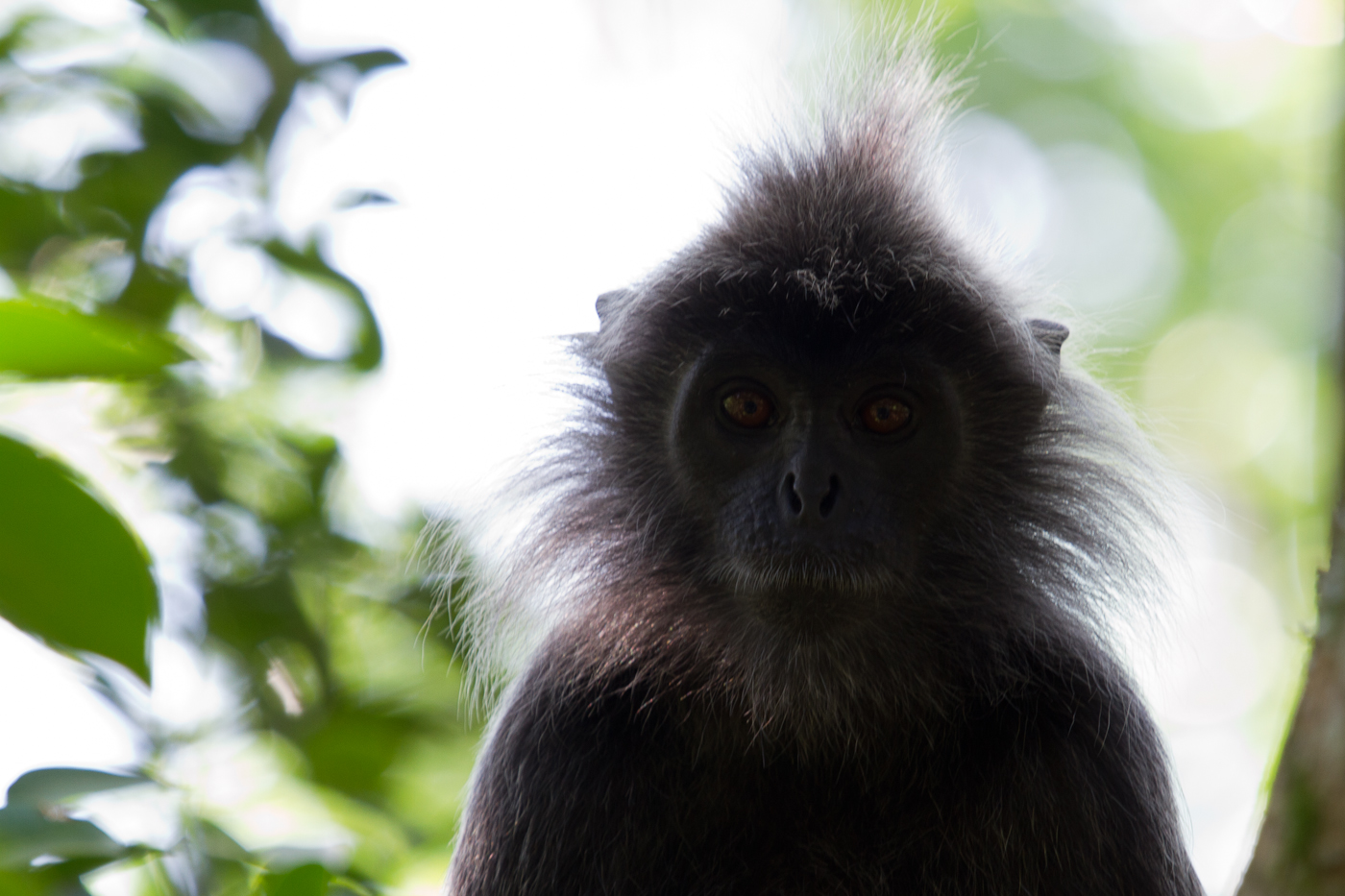 Silver Leaf Monkey, Taman Alam, Kuala Selangor Nature Park. Like from a Dr. Seuss story, right?