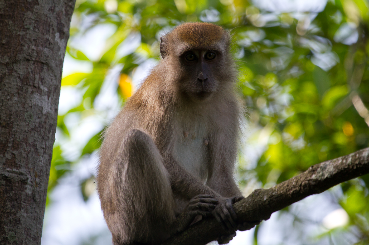 Long-Tailed Macaque, Taman Alam, Kuala Selangor Nature Park. These cute, annoying creatures really have lost their fear of man. One word, aggressive.