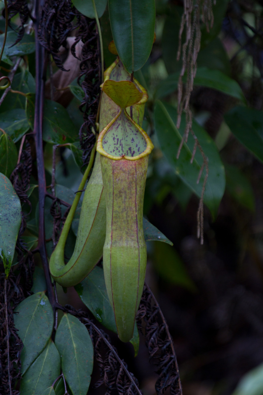 Pitcher this! Pitcher Plant, Fraser's Hill
