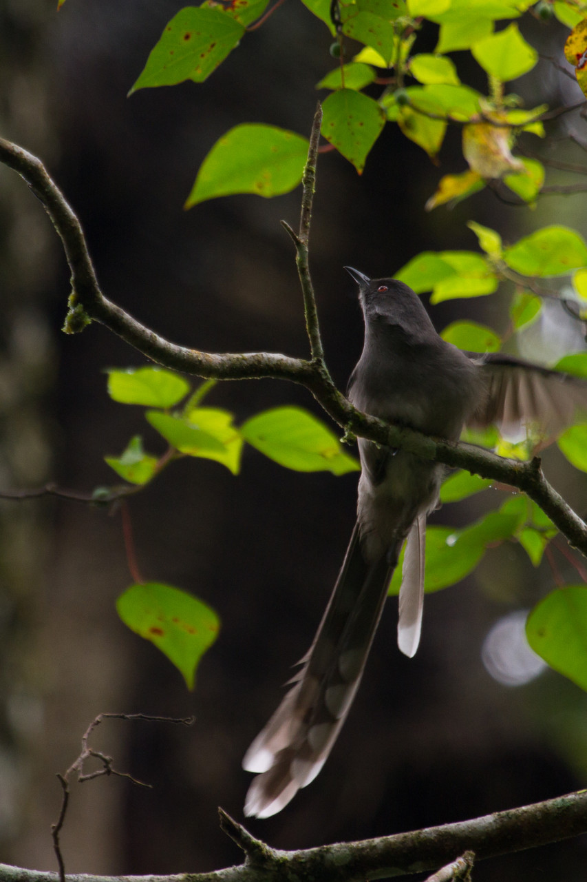 Long-Tailed Sibia, Fraser's Hill. These guys are just everywhere in the lush vegetation around town.