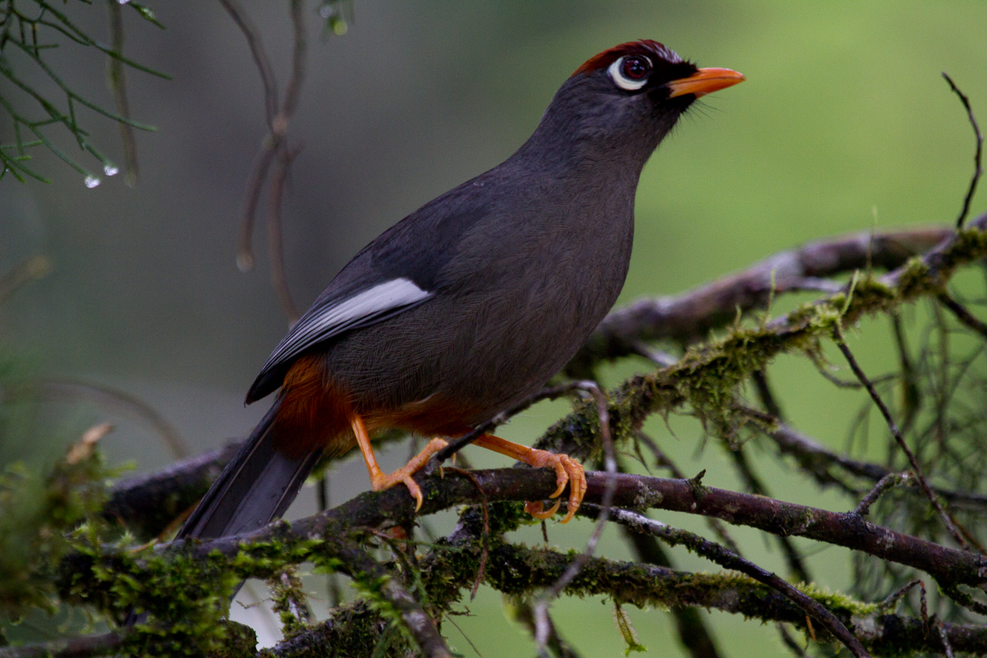 Chestnut-Capped Laughingthrush, Fraser's Hill