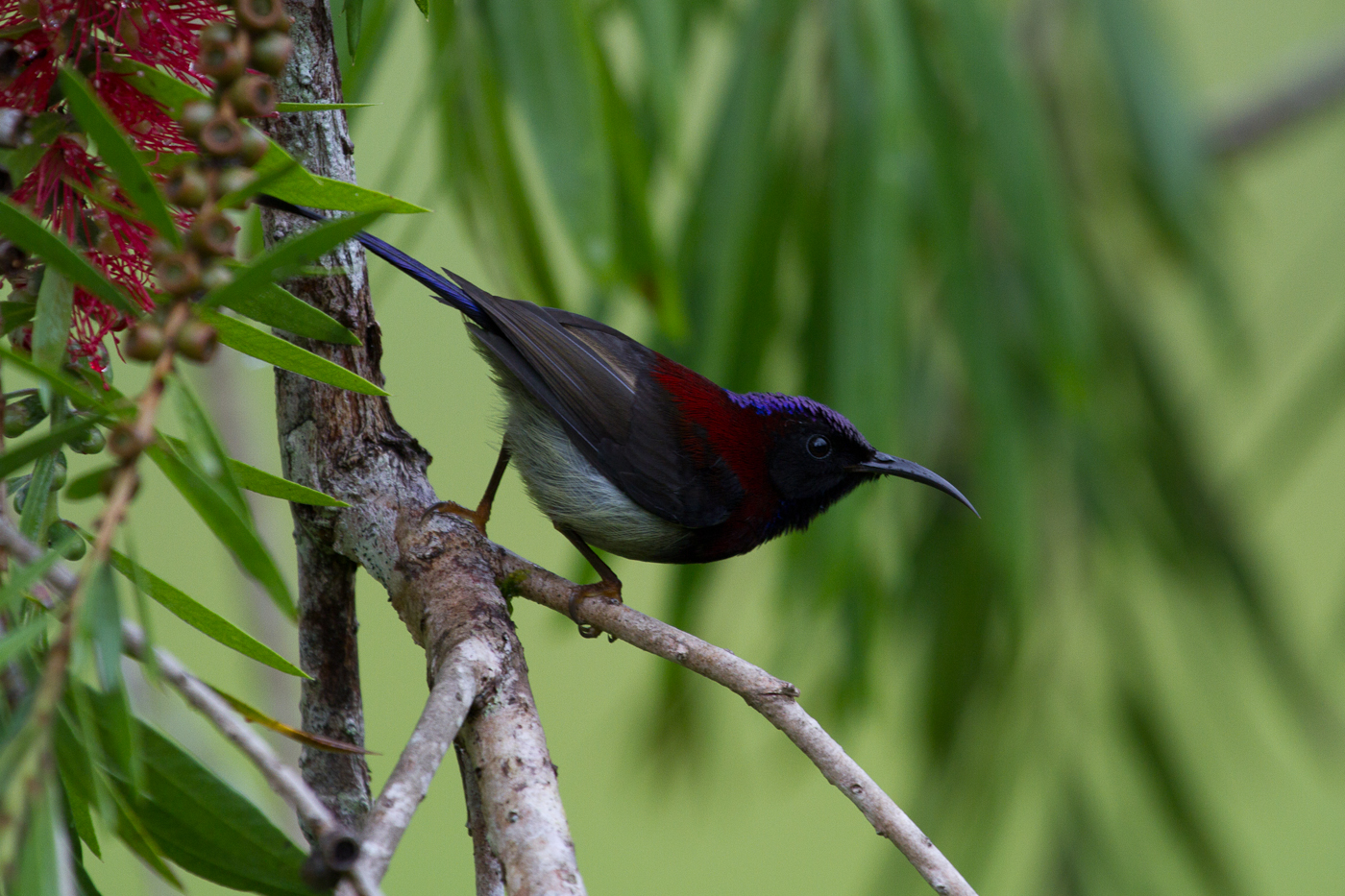Black-Throated Sunbird (Subspecies: Wrayi), Fraser's Hill, Malaysia