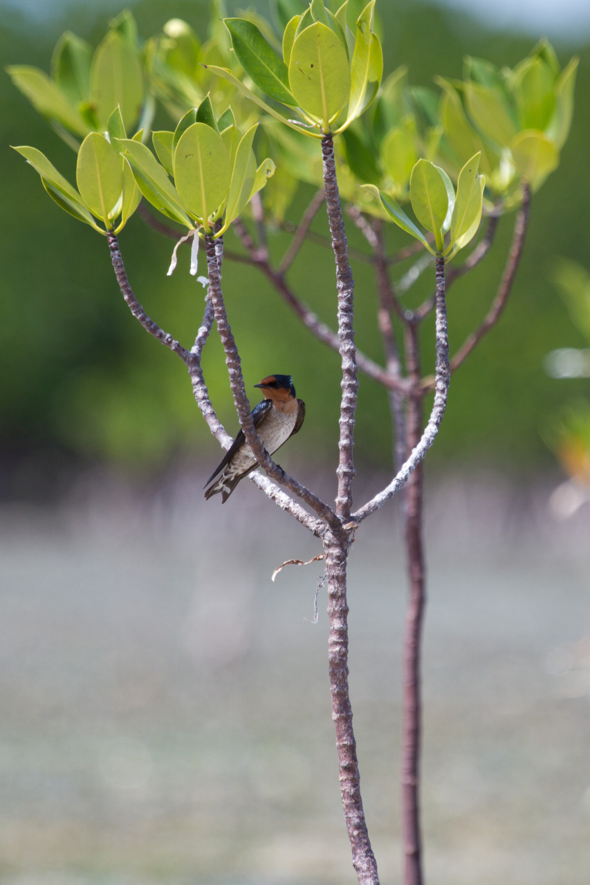 Pacific Swallow, Olango Island.