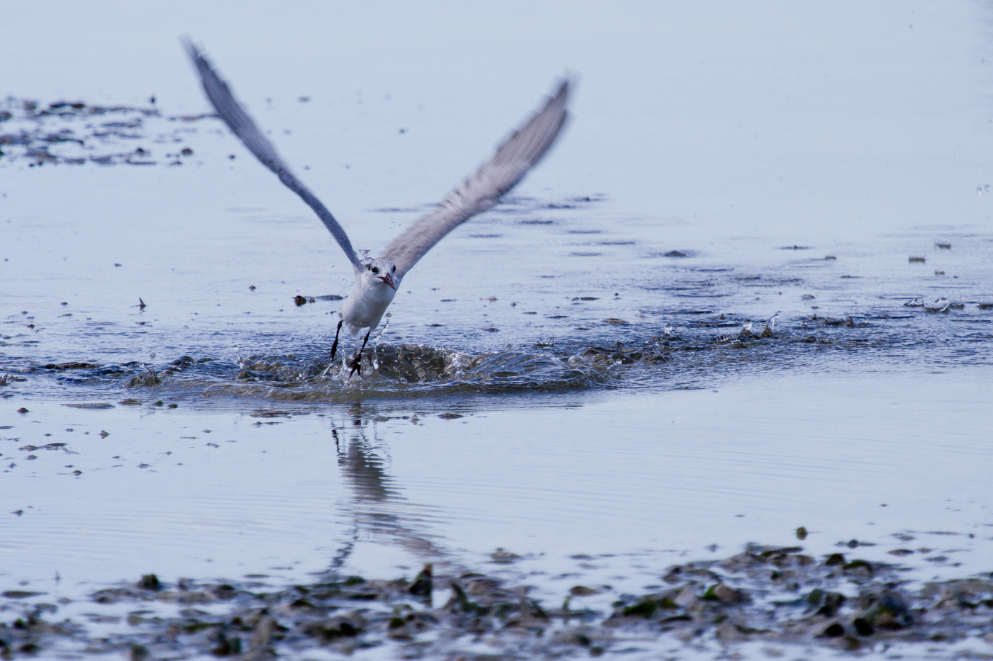 Common Tern fishing, Olango Island