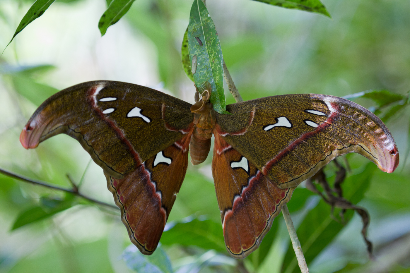 Atlas Moth, common in the forests of the Loboc Watershed, Bohol.