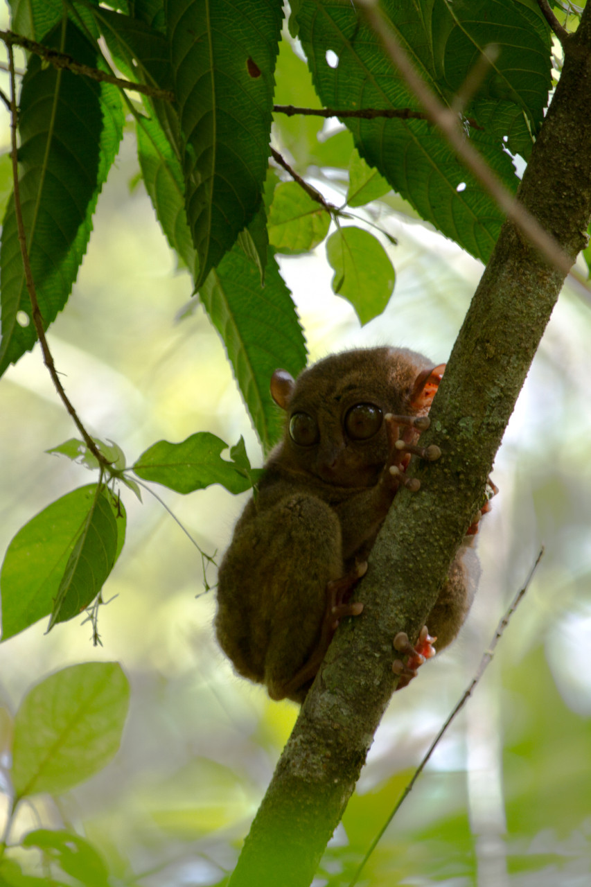 Tarsier. We would have preferred to see a wild one in Raja Sikatuna, but in the end we opted for the sanctuary in Corella.