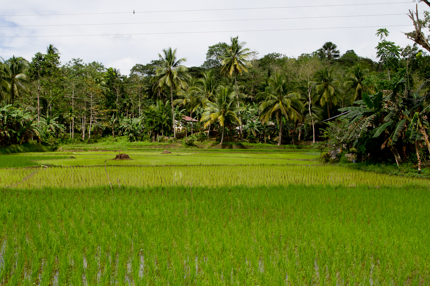 Fields of rice are everywhere on Bohol
