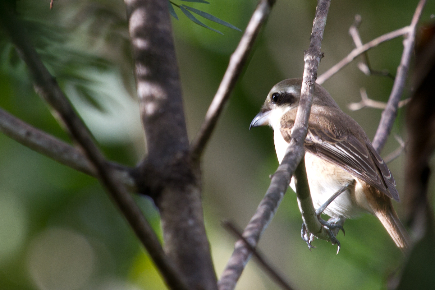 Brown Shrike, a very common bird on Bohol