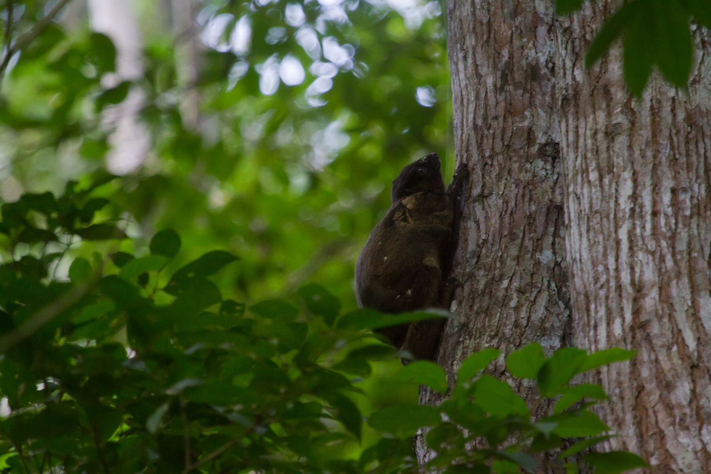 Flying Lemur, Raja Sikatuna Protected Landscape. Can be seen at dawn and dusk in the open area near the entrance of Magasay Park