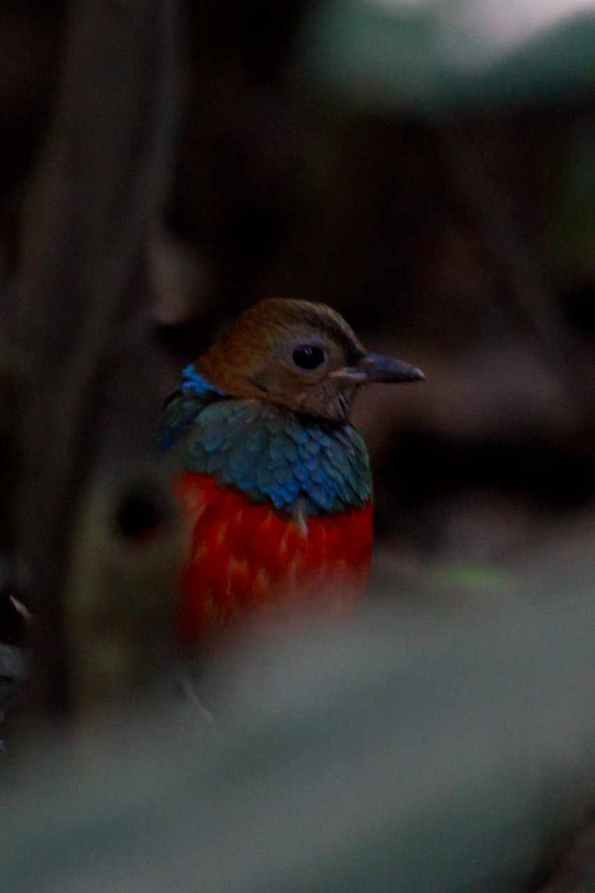 Red-Bellied Pitta, Luzon, Phillipines, December 2013