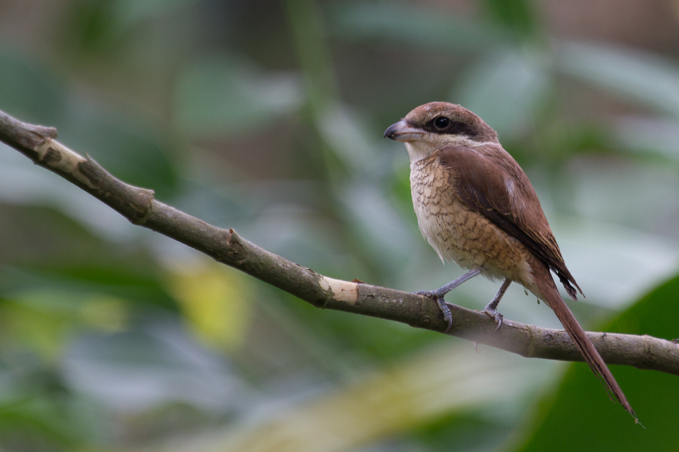 Brown Shrike, Philippines