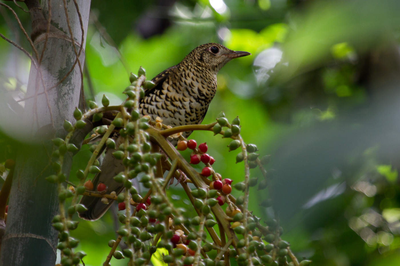 Scaly Ground-Thrush, Philippines