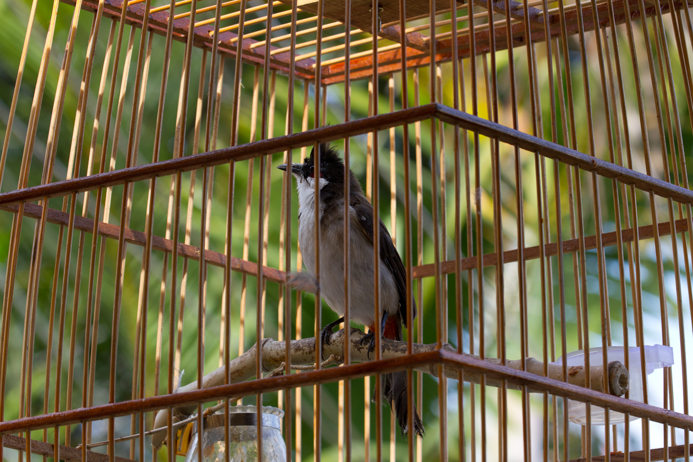"An all-too-common sight in Vietnam. A Red-Whiskered Bulbul in a cage is one thing, but often you see rare Laughingthrushes and other endangered species at ""pet shops""."