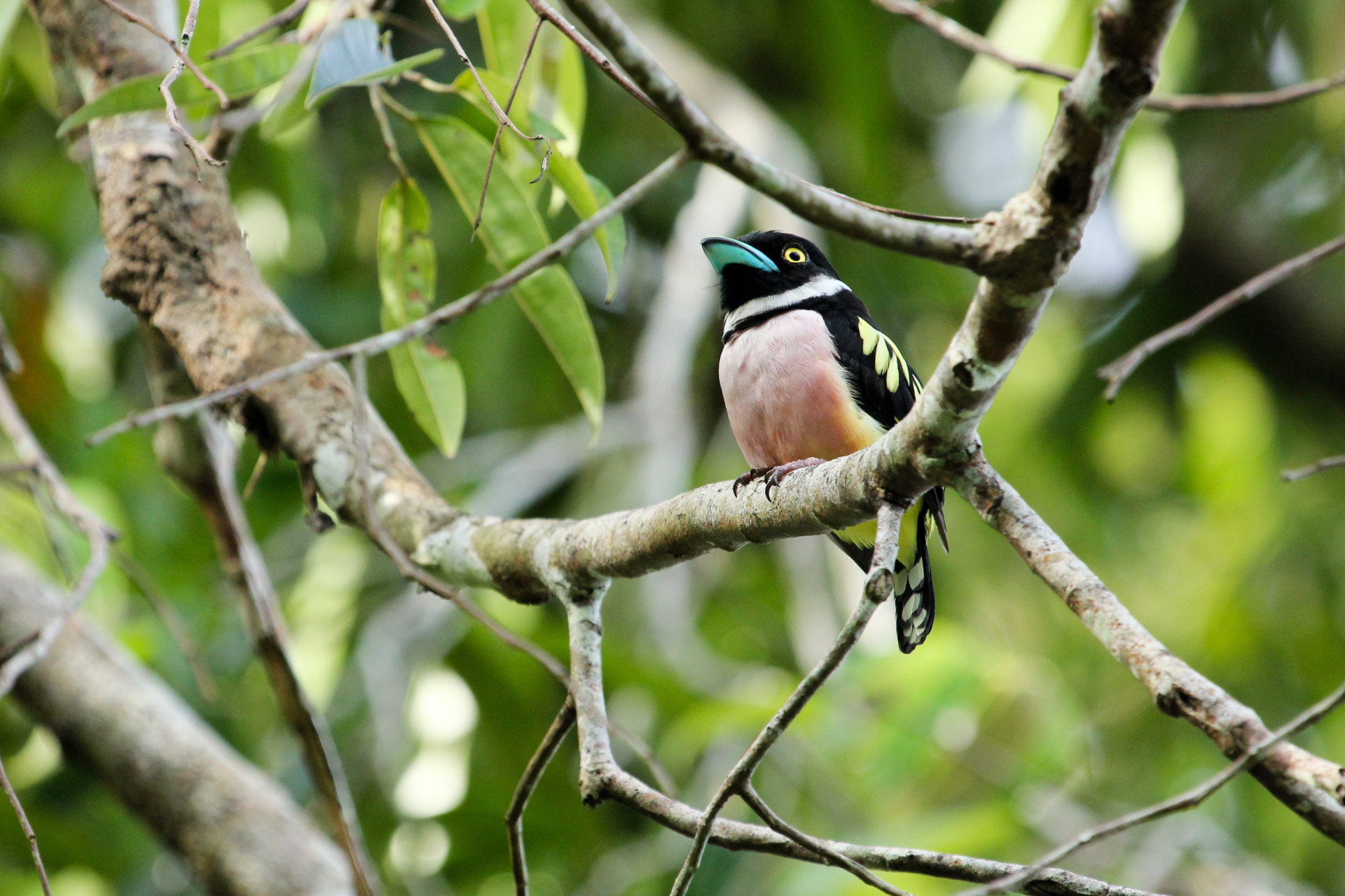 Black-and-Yellow Broadbill, Sabah, Borneo
