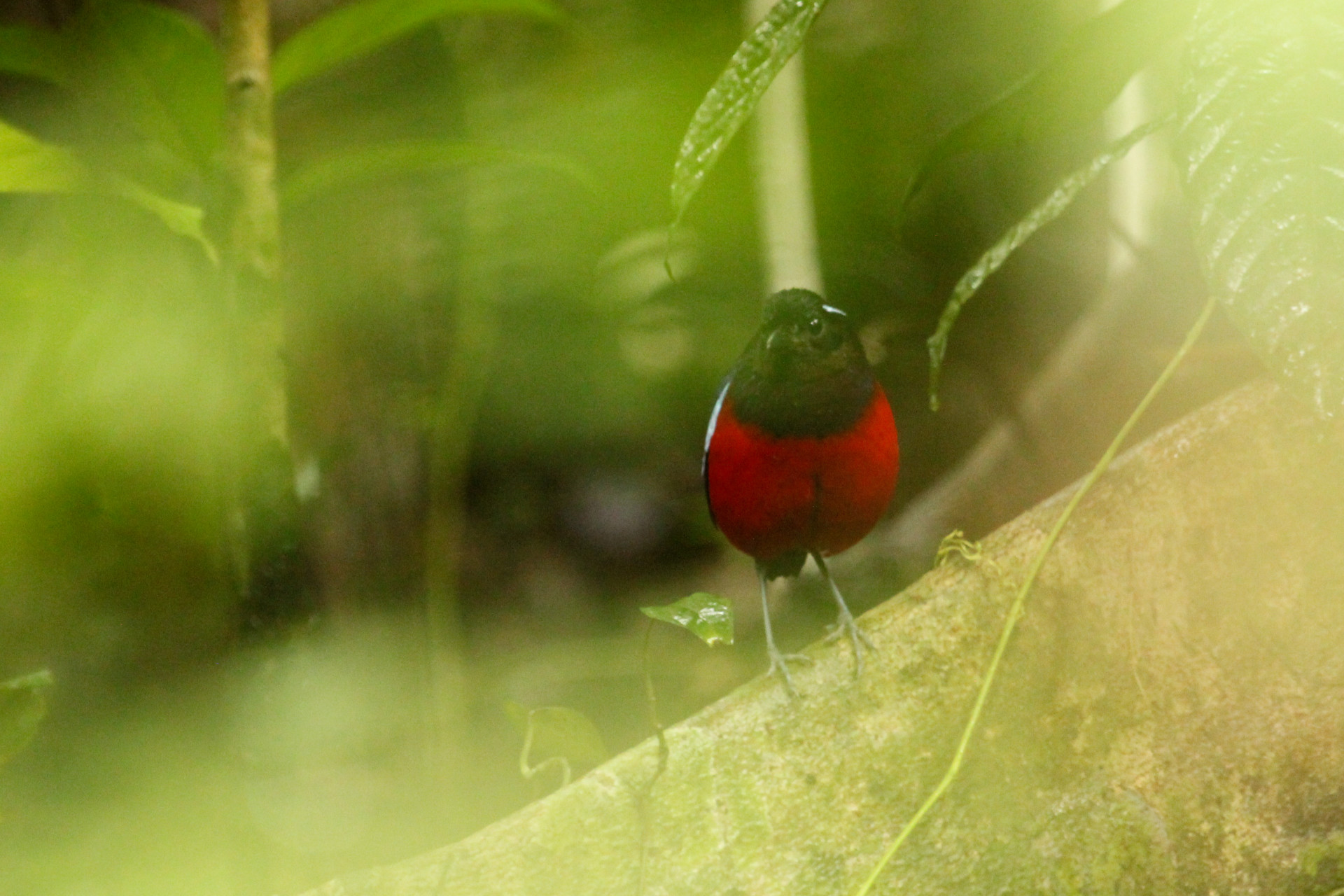 Black and Crimson Pitta, Danum Valley, Borneo, November 2012