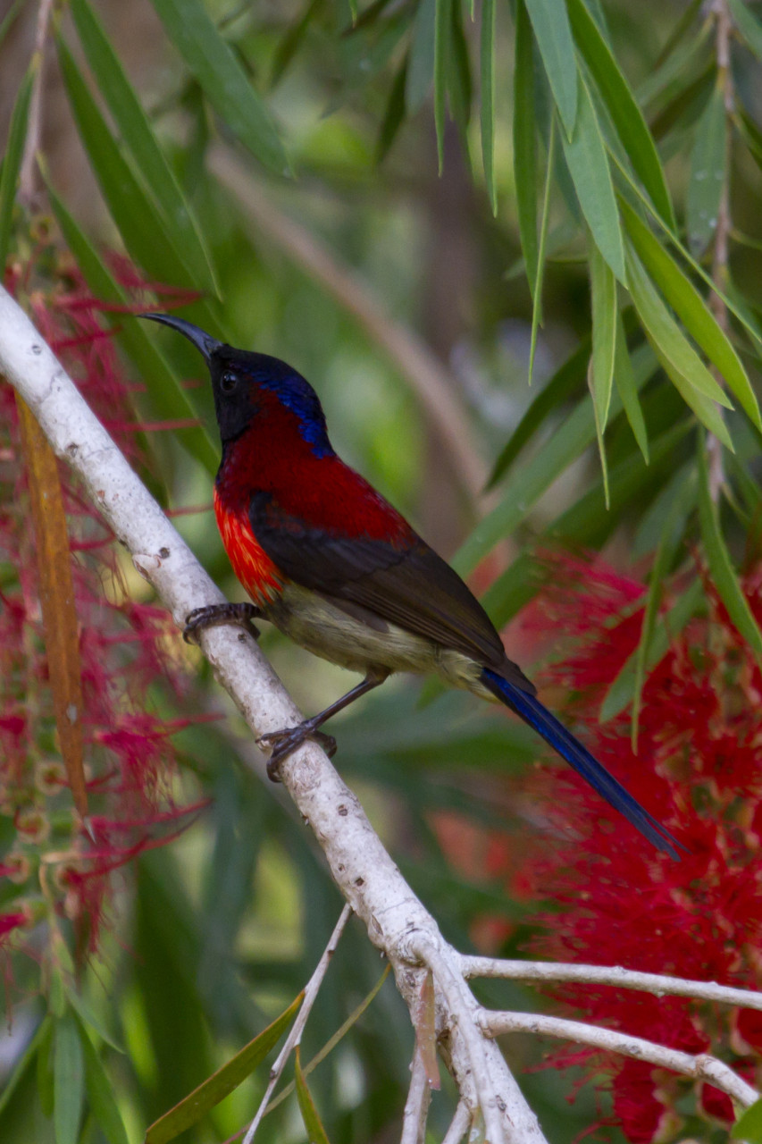 Black-Throated Sunbird (Subspecies: Johnsi), Dalat Plateau, Vietnam