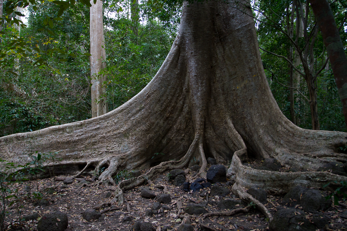 Huge Ficus tree roots were everywhere in Cat Tien National Park.