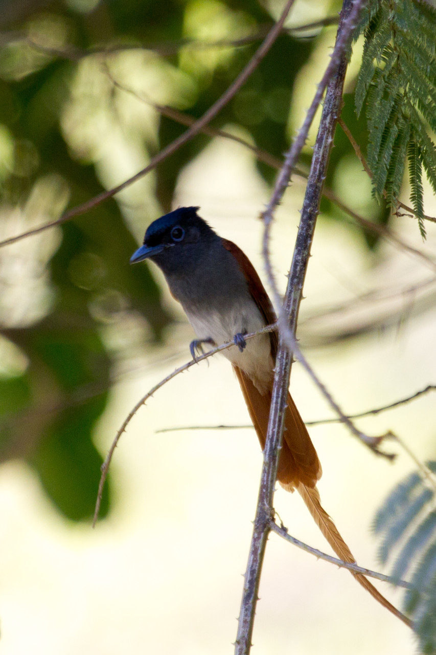 Asian Paradise Flycatcher, Cat Tien, Vietnam