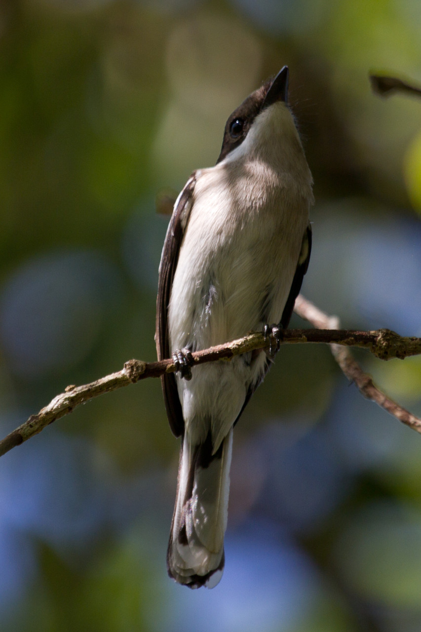 Bar-Winged Flycatcher-Shrike, Cat Tien, Vietnam