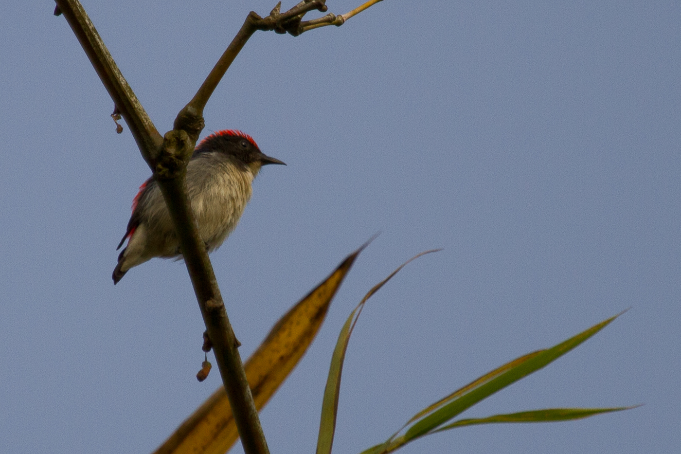 Scarlet-Backed Flowerpecker, Cat Tien National Park, Vietnam