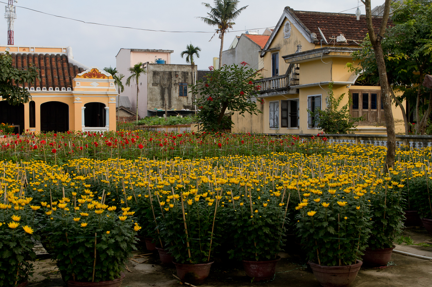 Lots of yellow flowers on sale for Tet, the lunar new year.