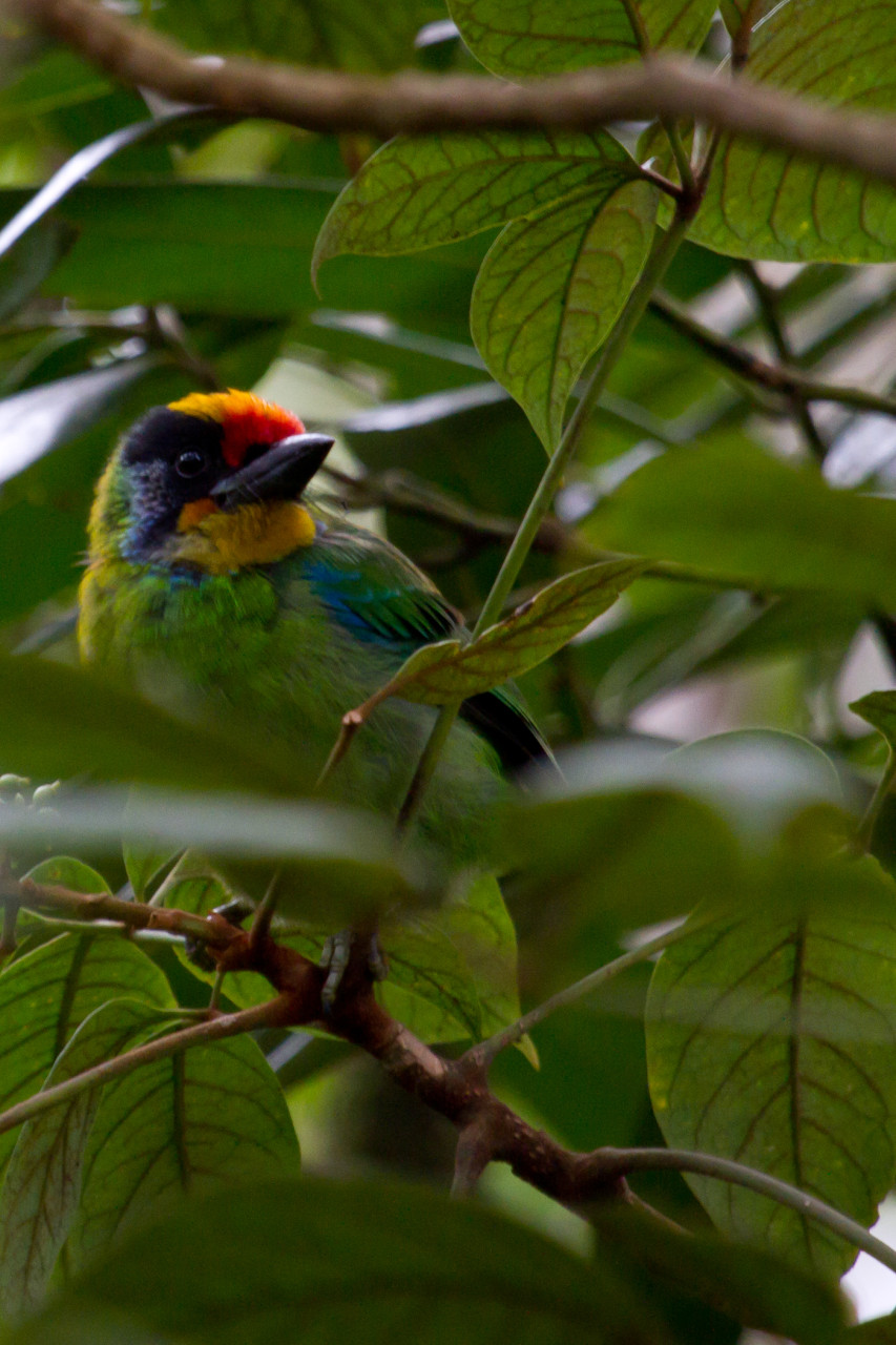Golden-Throated Barbet, Bach Ma National Park