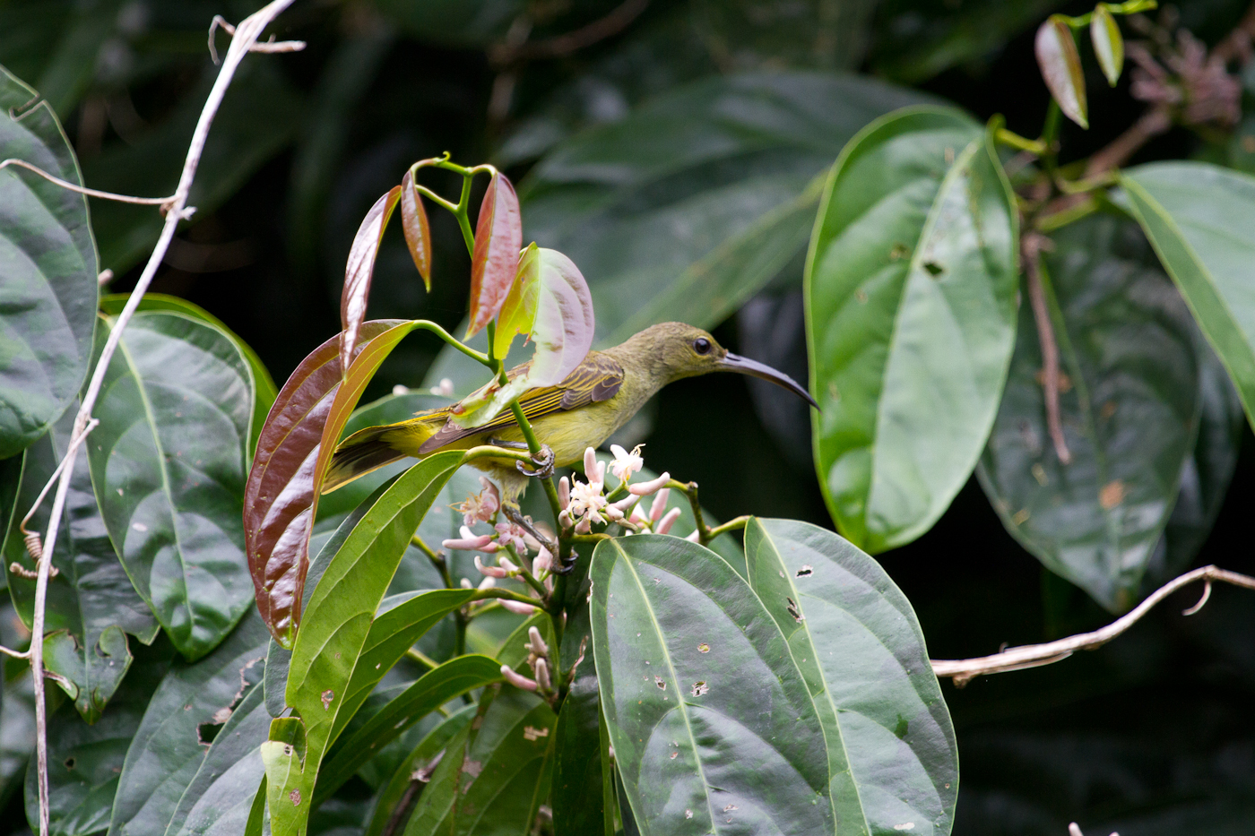 Little Spiderhunter, Danum Valley Field Centre, Sabah, Borneo