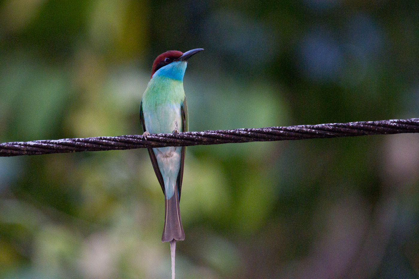 Blue-Throated Bee-Eater, Sabah, Borneo