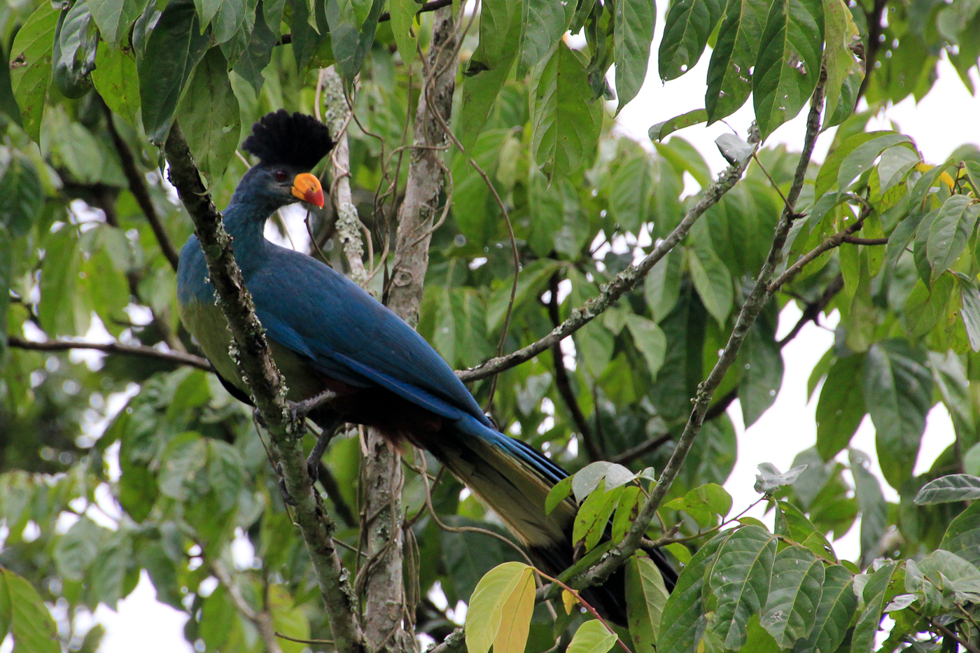 Great Blue Turaco near Bwindi