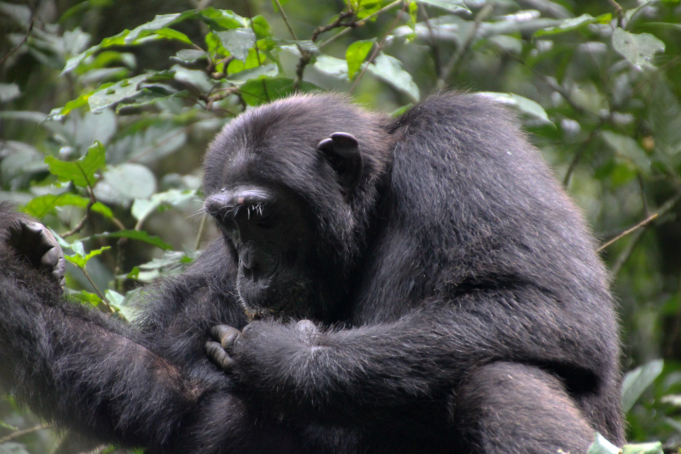 Chimpanzee, Bwindi Impenetrable Forest.