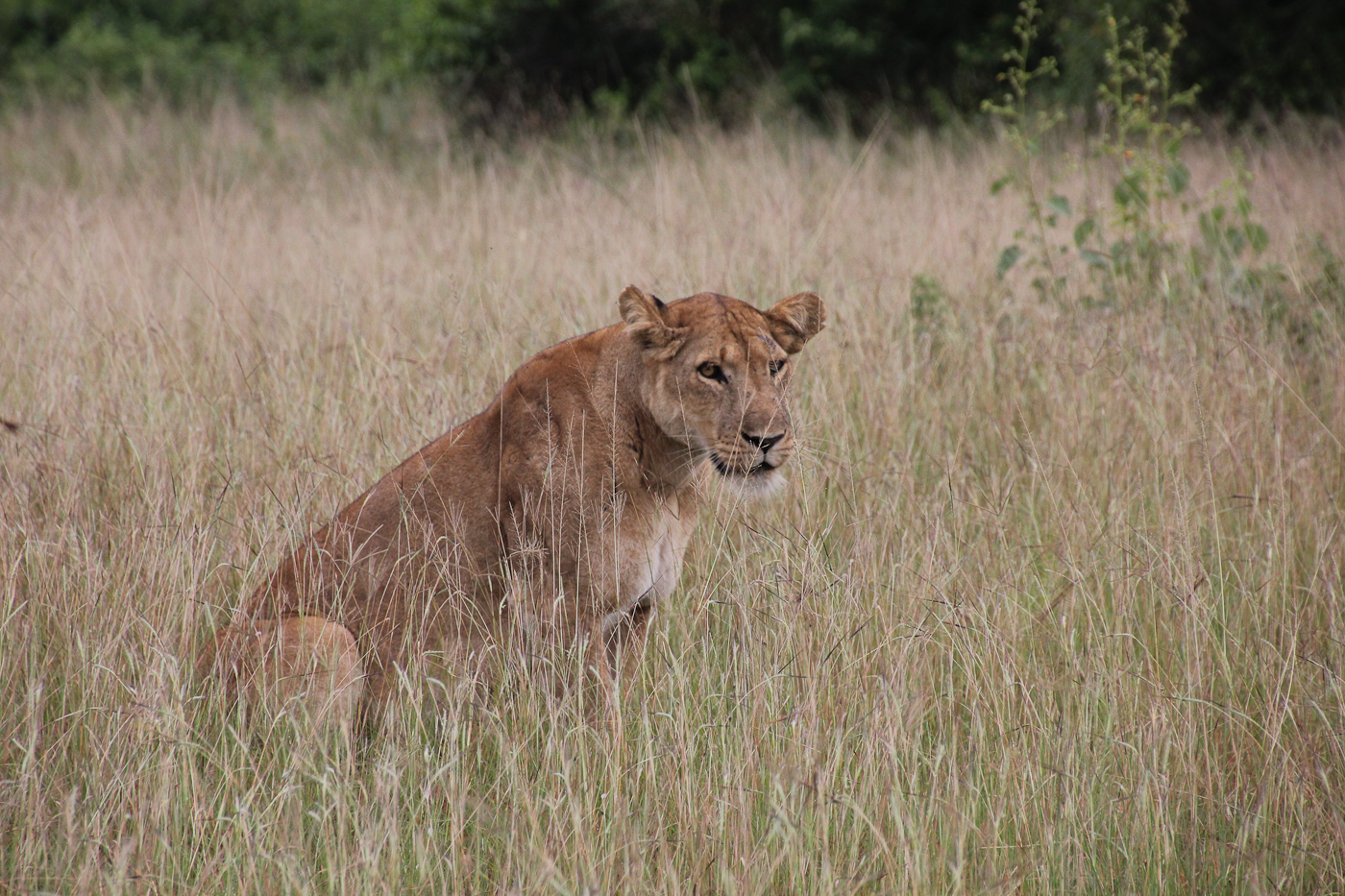 Lioness, Queen Elisabeth National Park