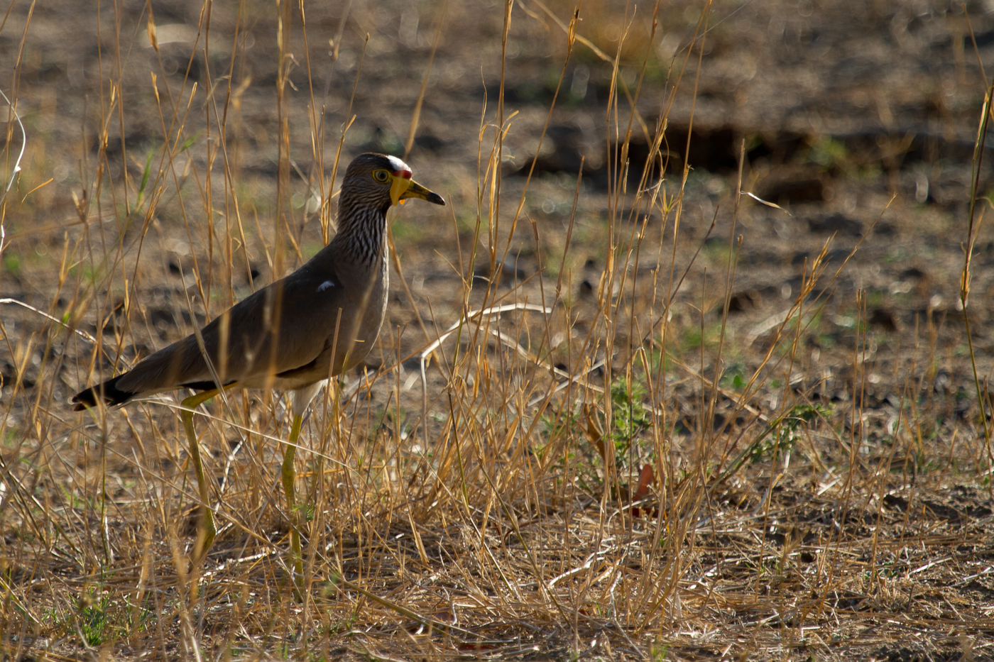 African Wattled Lapwing, Mahango National Park, Caprivi