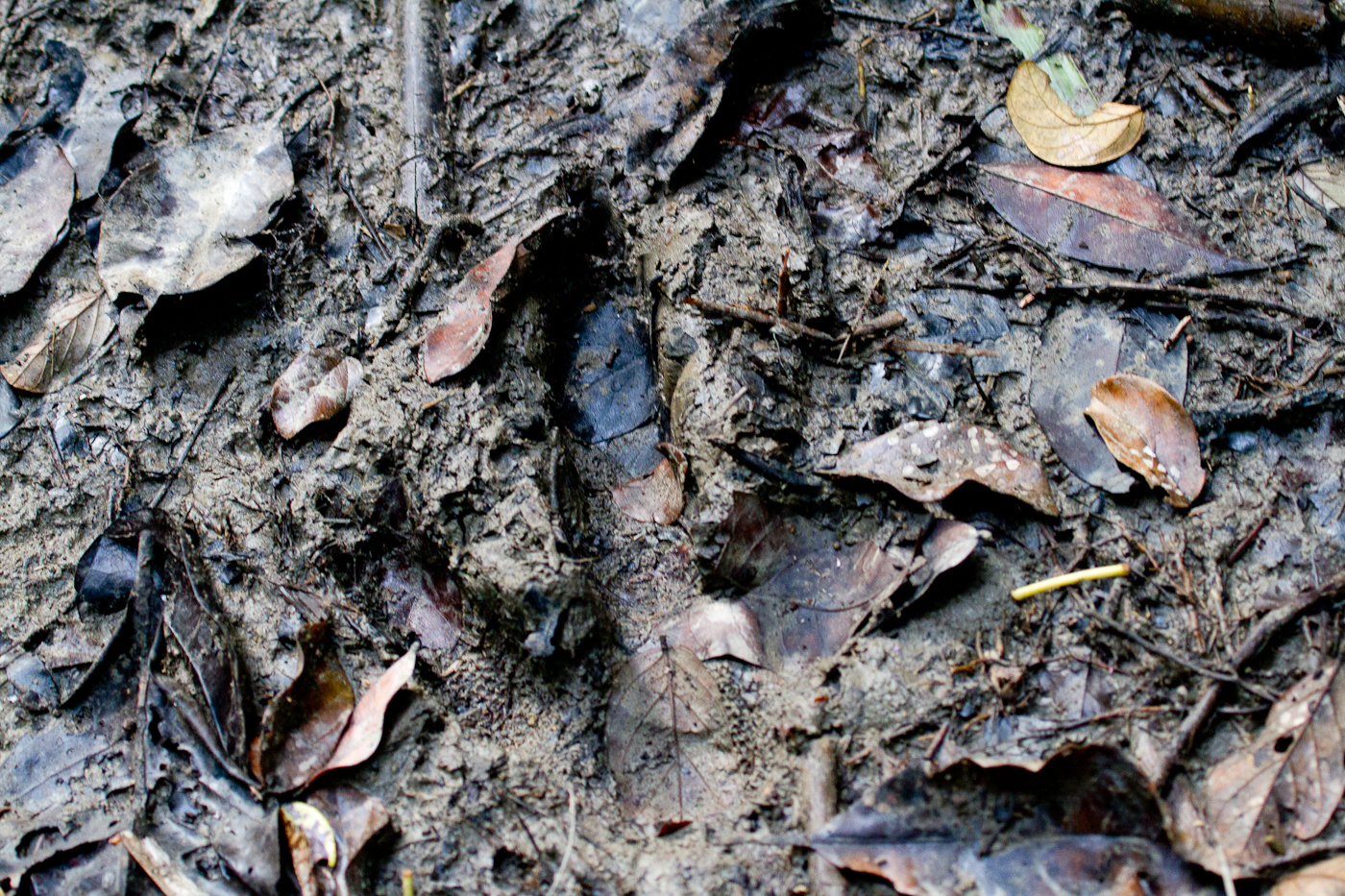 Cassowary print! This is as close as we got to the 'yeti of birds'