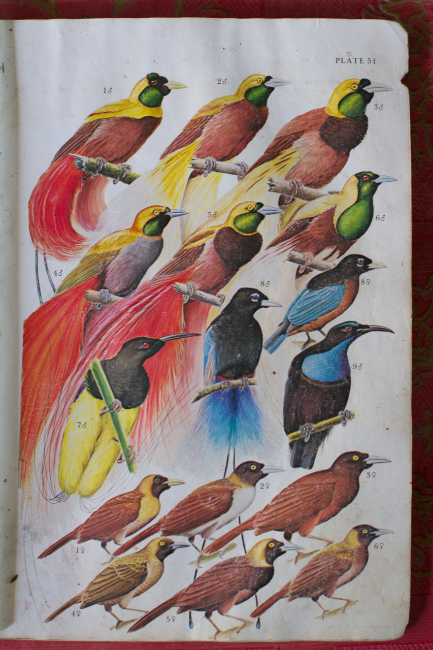 In the end we saw the Pale-Billed Sicklebill, the Magnificent Riflebird, the Lesser, the Red, the Twelve-Wired, and Glossy Manucode Birds of Paradise in Papua.