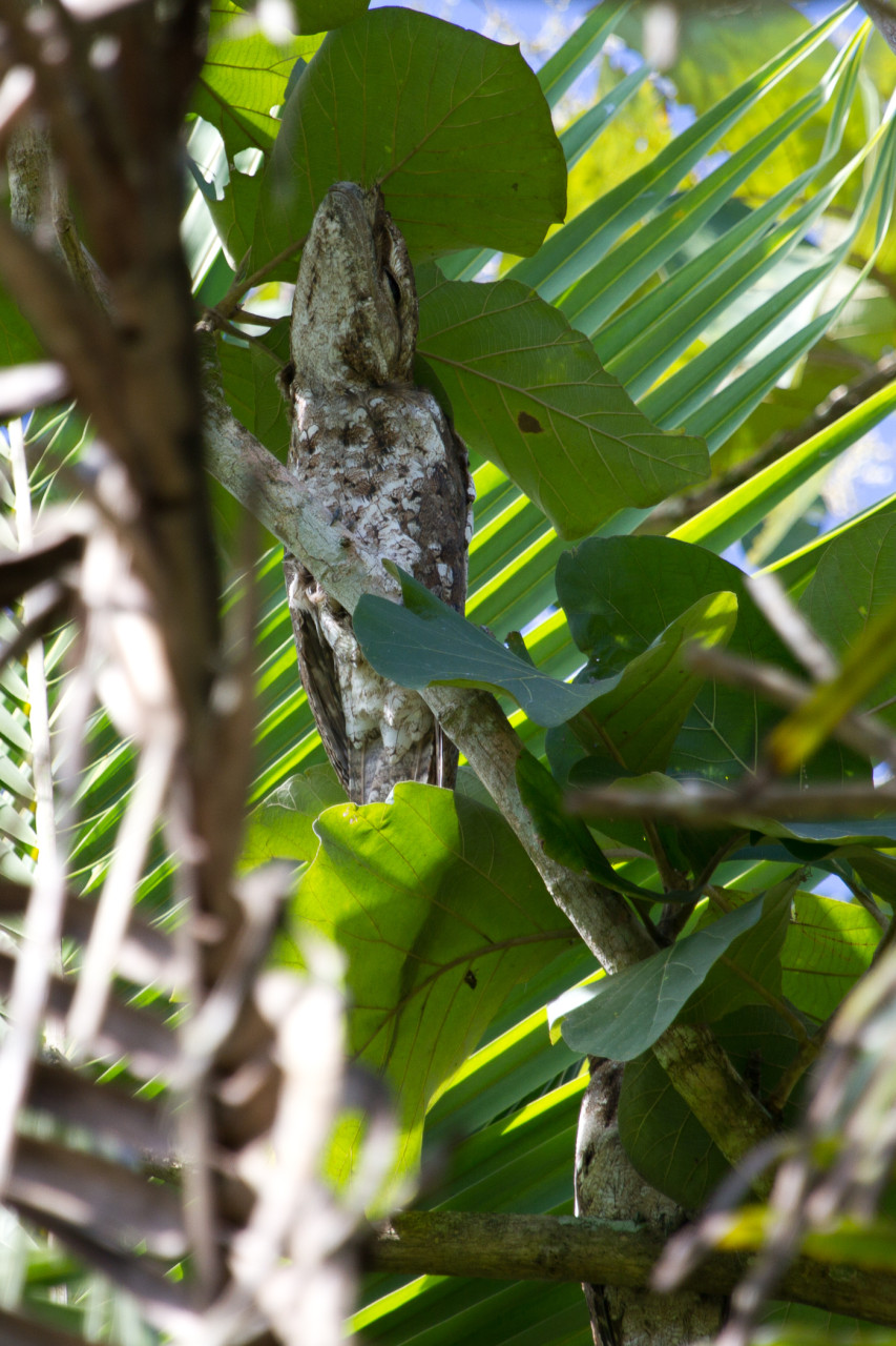A giant roosting 50cm long Papuan Frogmouth and his wife, which is below and to the right, obscured by a leaf.