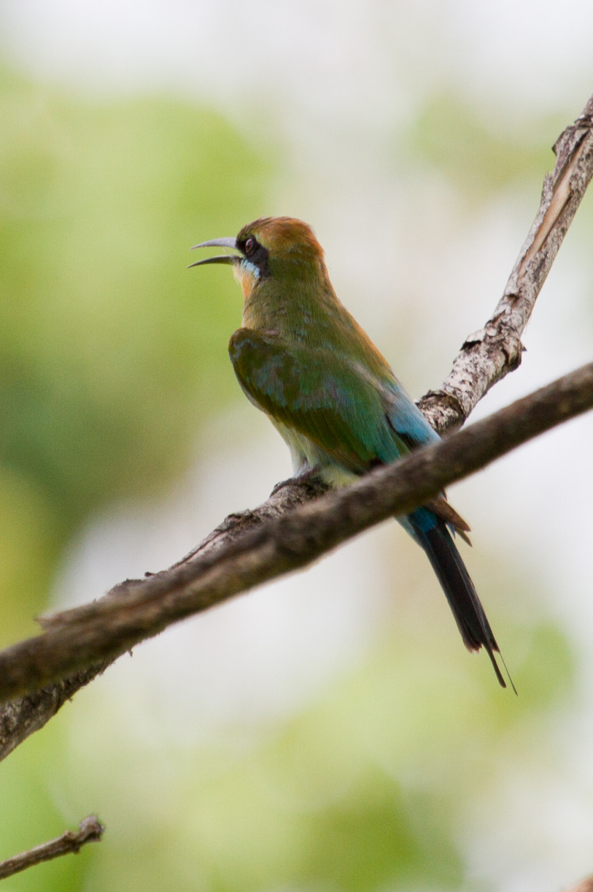 Rainbow Bee-Eater, Papua Indonesia